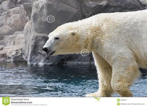 bear with tongue sticking out polar bear sticking out tongue stock image image 4555617