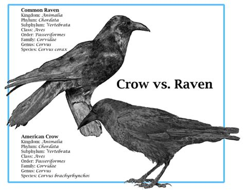 crow and raven myths mary c simmons