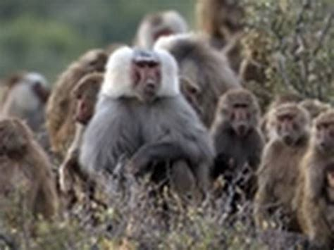 life baboons fight  females primates youtube