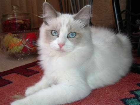 ragdoll cats cat picture and information