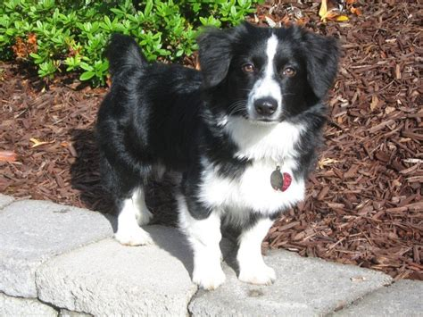 borgi puppies 36 best images about borgi puppies on border collies you re beautiful and