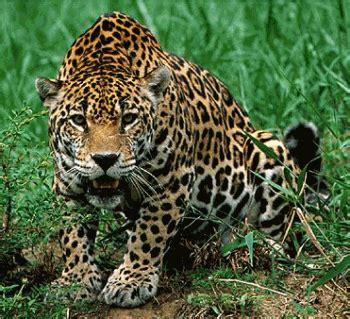 imagenes de jaguar en peligro de extincion animales en peligro de extinci 243 n jaguar