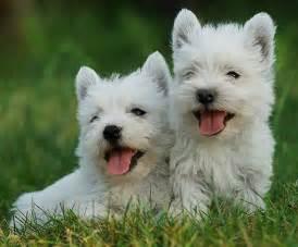 west highland white terrier puppies west highland white terrier westie