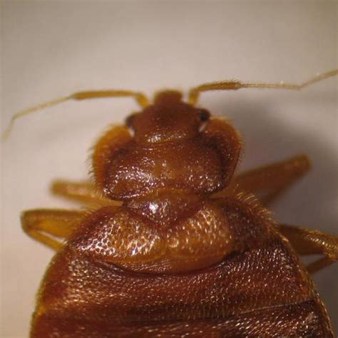 bed bugs in ohio expert weighs in on ohios bed bug epidemic public news service