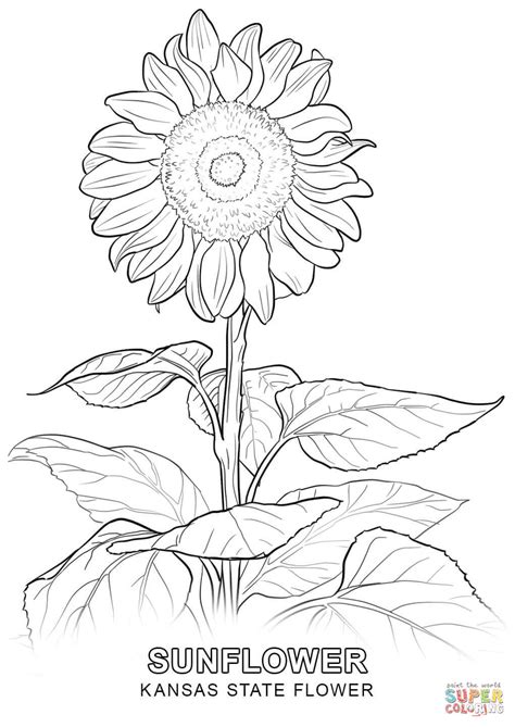 Kansas State Flower Coloring Page Free Printable Kc Colour Pages
