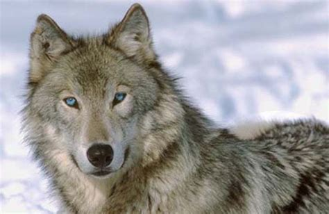 what color are wolves gray wolf with blue grey wolf eye color change by