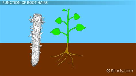 design root meaning dicot root diagram choice image diagram design ideas