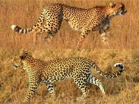 Leopard Vs Cheetah Vs Jaguar Cheetah Vs Leopard Two Gorgeous Cats We Recently Saw