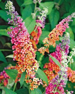 multi colored butterfly bush buddleja x weyeriana bicolor according to digging