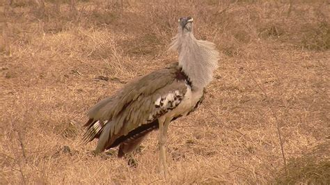 brown what being brown in the world today means to everyone books world s flying bird kori bustard in hd