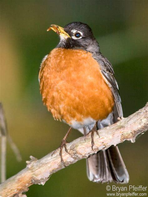 why the american robin is a badass bird bryan pfeiffer