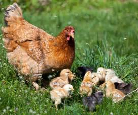 To/top Chicken Breeds For Eggs » Ideas Home Design