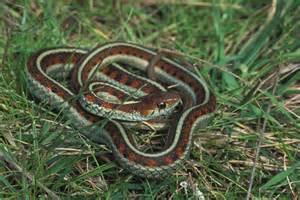 Garter Snake Facts Sided Garter Snake Archives Animal Facts For