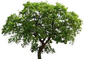 transparent tree oak tree transparent background