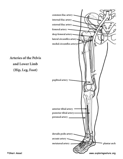 blood vessels coloring pages arteries of the lower limb pelvis leg and foot advanced