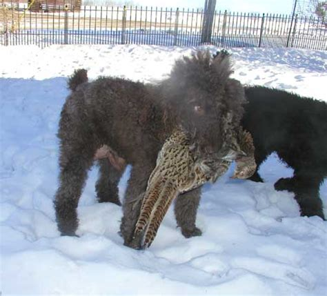 are poodles dogs royal standard poodle dogs