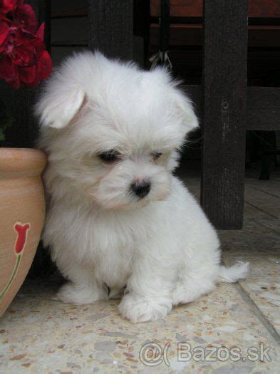 buy maltese puppy 25 best ideas about maltese puppies on maltese baby maltese and teacup