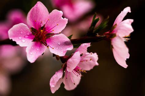 background bunga sakura merah