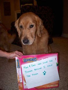 guilty golden retriever 1000 images about guilty on shaming dogs and blue food