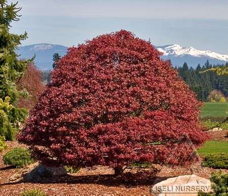 26 best cultivar choices japanese maple images on japanese maple acer palmatum and