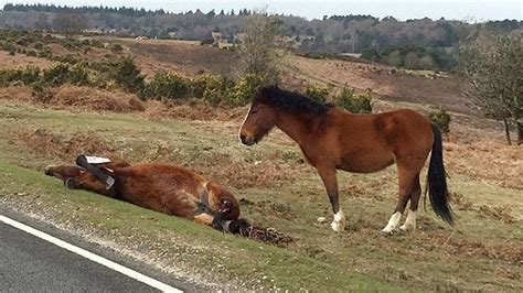 anak kuda ini meratapi induknya yang meregang nyawa karena ketabrak sepeda motor tribunnews