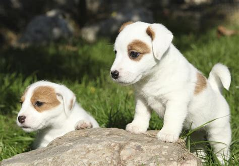puppy finders terrier puppies models picture