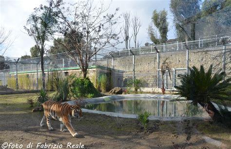 giardino zoologico napoli zoo di napoli la nuova area per le tigri diario napoletano