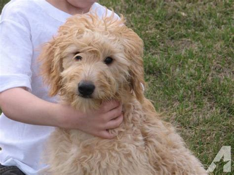 f1b mini goldendoodle puppies for sale f1 f1b mini goldendoodles for sale in hancock minnesota classified