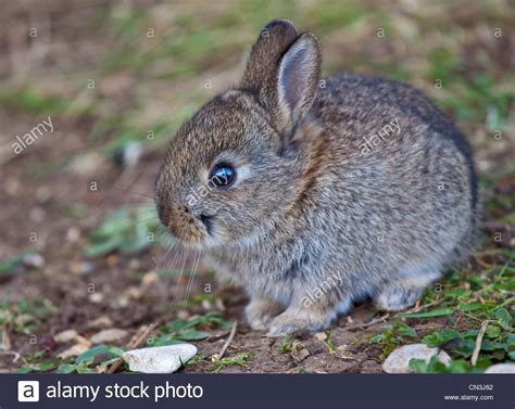 baby european rabbit oryctolagus cuniculus uk