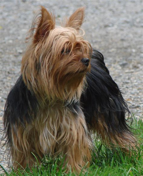 how to make yorkie hair silky silky vs yorkie breeds picture