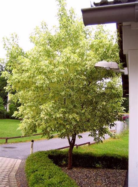 Cer Fenster Sichtschutz by Hausbaum Als Sichtschutz Mein Sch 246 Ner Garten Forum