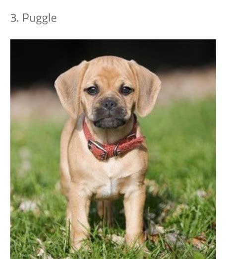 pug and beagle mix puppies pug beagle mix pictures 78 pug beagle mix pictures breeds picture