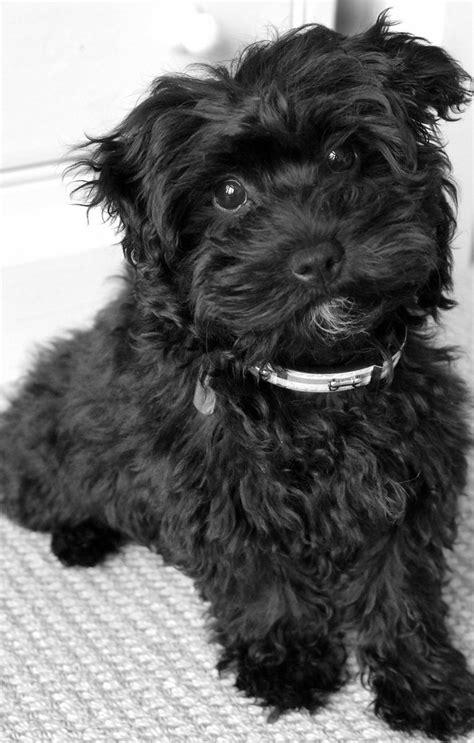 Black White Mix black maltese terrier mix www imgkid the image kid