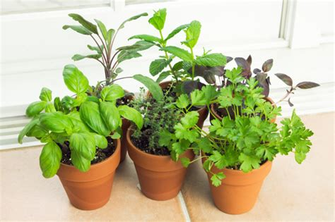 growing herbs creating an indoor herb garden