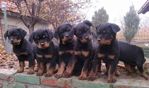 rottweiler obedience classes rottweiler puppies rottweiler http tipsfordogs info 90dogtrainingtips