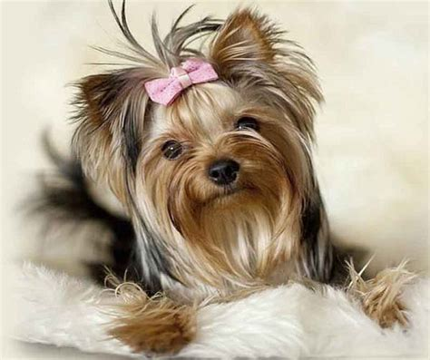yorki one yorkie temperament and personality terrier behavior yorkiemag