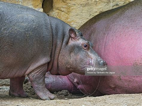 what color is hippo milk baby hippo who just finished to drink stock photo getty