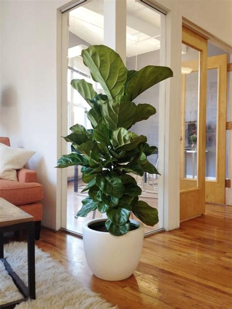 cheap indoor plants 25 best ideas about fig tree on pinterest indoor trees