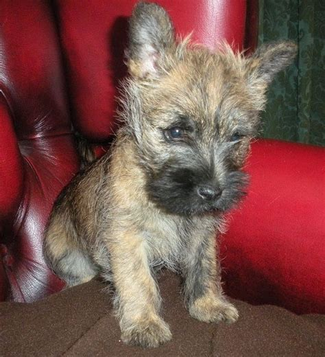 akc cairn terrier puppies for sale brindle cairn terrier puppies breeds picture
