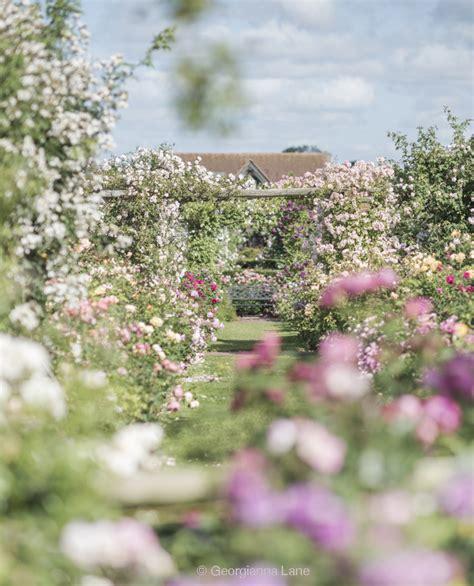 at the home of david austin english roses georgianna lane