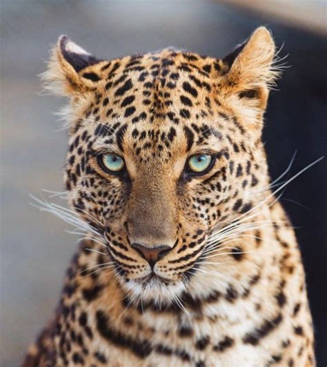 The Blue Eyed the blue eyed leopard trending on