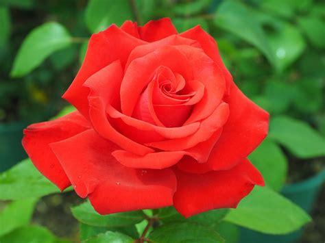 rosa fiore immagini foto gratis rosa rosso fiore floribunda immagine