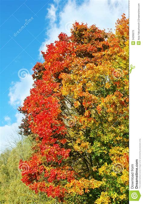 bright colorful maple tree in autumn royalty free stock