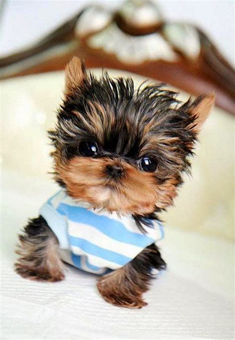 facts about yorkie 5 facts about terrier mans best friend pets puppys and