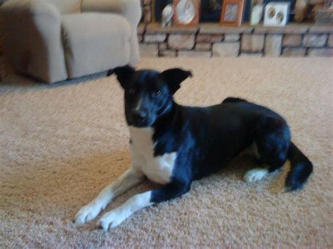 border collie mix puppy needs home