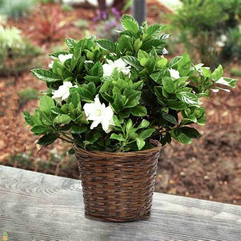 august beauty gardenia plants  sale  planting tree