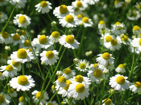 Tanaman Obat Untuk Batuk Kronis 10 tanaman obat herbal untuk radang tenggorokan kronis