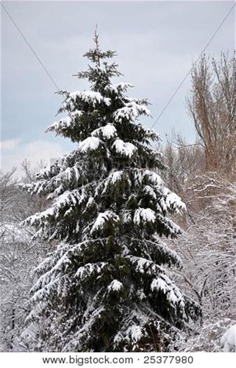 snow capped trees single snow capped green pine tree image photo bigstock