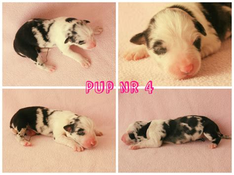 pup website pup 4 border collie site
