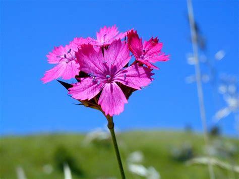 fiori attinomorfi dianthus carthusianorum l schede delle erbe piante e